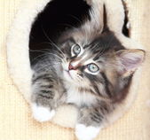 Brown puppy of siberian cat at two months — Stock Photo