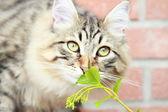 西伯利亚的品种,男性的褐色小猫 — 图库照片