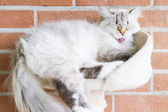 White cat of siberian breed, neva masquerade version — Stock Photo