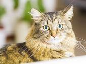 Brown kitten,beautiful type of siberian breed — Stock Photo