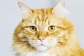 Red cat, long haired siberian breed — Stock Photo