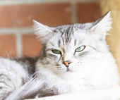 Grey cat, siberian breed silver version — Stock Photo