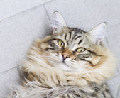 Brown male of siberian cat, kitten at ten months — Stock Photo