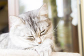 Female cat of siberian breed, silver version - livestock cat — Stock Photo