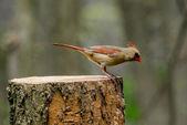 Baby female cardinal on a log — Stock Photo