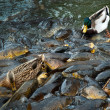 Carps and ducks feeding frenzy — Stock Photo #30762501