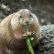 Stock Photo: Prairie dog eating