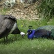 Funny peacocks flirting — Stock Photo
