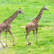 Stock Photo: Pair of articulated giraffes