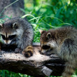 Постер, плакат: Pair of raccoons eating on a log