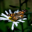 Daisy and butterfly — Stock Photo