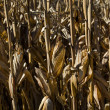 Dried up corn bad crop — Stock Photo
