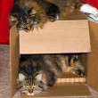 Cats in a card board condo — Stock Photo