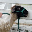 Sheep being given a bath at the fair — Stock Photo #30767499