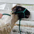 Sheep being given a bath at the fair — Stock Photo
