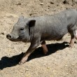 Happy grey pig — Stock Photo