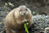 Prairie dog eating — Stock Photo