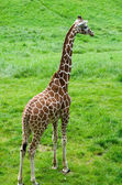 Full view of a articulated giraffe — Stock Photo