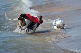 Pies goni piłki nożnej — Zdjęcie stockowe