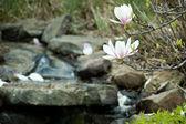 Petali di magnolia — Foto Stock