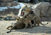 Angry lion dad with cubs — Stock Photo