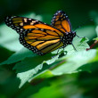 Beautiful monarch on a green leaf — Stock Photo