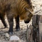 ������, ������: Takin animal rubbing horns