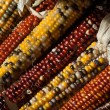Colorful fall Indian corn — Stock Photo