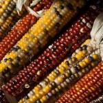 Colorful fall Indian corn — Stock Photo
