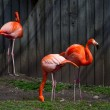 Trio of pink flamingos — Stock Photo