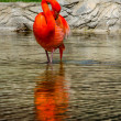 Flamingo grooming — Stockfoto