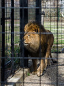 Captive lion in a cage — Stock Photo