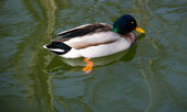 One Mallard duck — Stock Photo