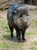 Happy little Bristol  pig posing — Stock Photo