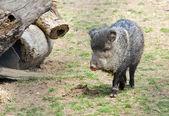 Happy little Bristol  pig — Stock Photo