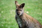Giovane canguro — Foto Stock