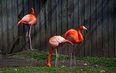 Trio de flamingos cor de rosa — Fotografia Stock