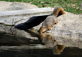 Squirrel drinking from a pond — Stock Photo