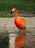 Flamingo wading in the water — Stock Photo