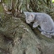 Exploring  grey kitten — Stock Photo