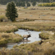 Elk in Colorado — Stock Photo