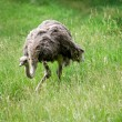 Ostrich on the hunt — Stock Photo