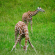 Giraffes in a habitat — Stock Photo