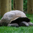 Old giant tortoise  — Stock Photo