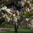 Cherry trees in spring — Stock Photo