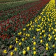 Commercial tulip field — Stock Photo