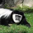 Colobus monkey having a bad day — Stock Photo #34700687