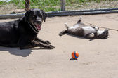 Dog, cat and ball-faking it — Stock Photo