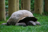 Old giant tortoise — Foto Stock