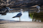 Sea gulls in a pool of water — Stock Photo